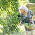Lady picking tomatos in garden